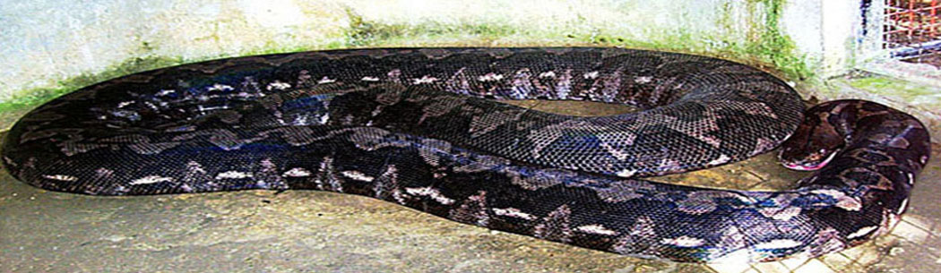 Prony The Python - The largest python in captivity can be found in Alburquerque, Bohol. Named Prony, this python is over 25 feet long and is fed one small pig a month.